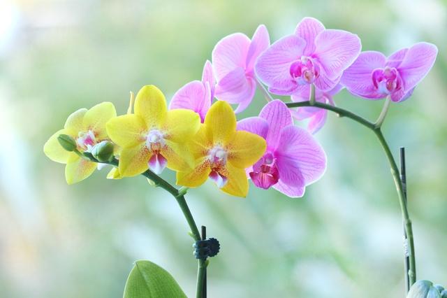 カラフルな胡蝶蘭